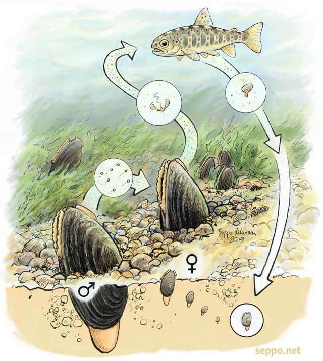 Trout and freshwater pearl mussel reproduction