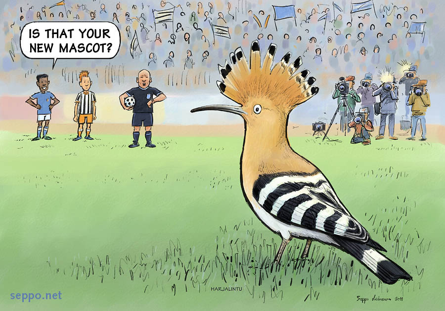 Hoopoe at the football stadium