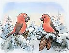 Parrot Crossbill and Common Crossbill