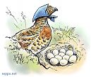 Capercaillie hen and eggs