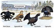 Capercaillie and Black Grouse and Rackelhahn at courting display