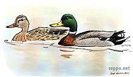 Mallard – Wild Duck – male and female