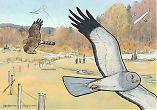 Hen Harrier kite and glider