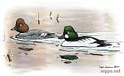 Common Goldeneye – male and female