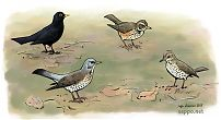 Blackbird, Fieldfare, Redwing and Song thrush