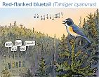 Red-flanked bluetail and nature tourism