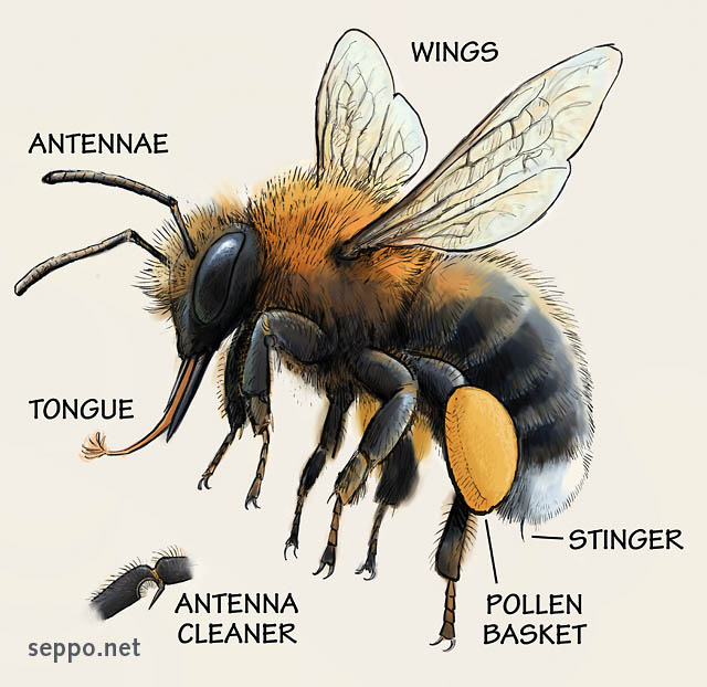 Anatomy of a bumble bee