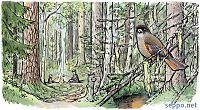 Siberian Jay in old-growth forest