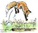 Red fox preying