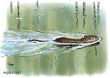 Muskrat swims