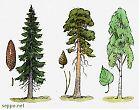 Spruce – Pine – Birch