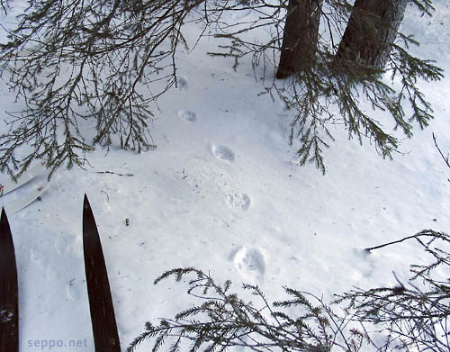 Footprints of a lynx and hare in a snow