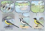 Västäräkki keltavästäräkki ja virtavästäräkki - kevätmuutto